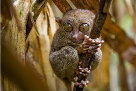 Bohol's nocturnal tarsier