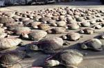 Hundreds of dead turtles seized from a Chinese fishing boat.