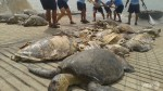 Confiscated from Chinese fishermen - near-extinct giant turtles.