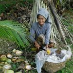 Traditional harvesting of cacao...