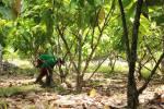 The cacao farm...